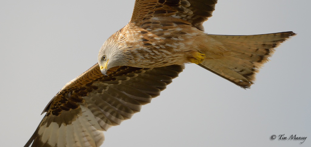 Red Kite Close up 2012
