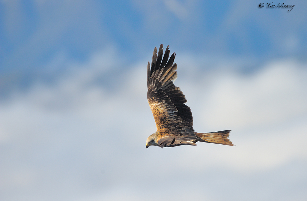 Red Kite above the clouds 2012