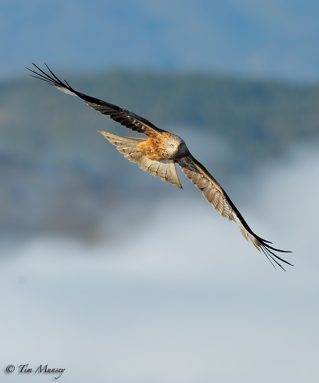 Red Kite emerging from the mist 2012