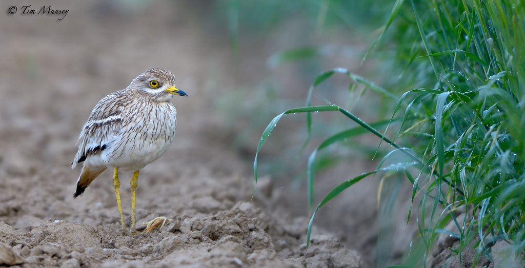 Stone Curlew 2012