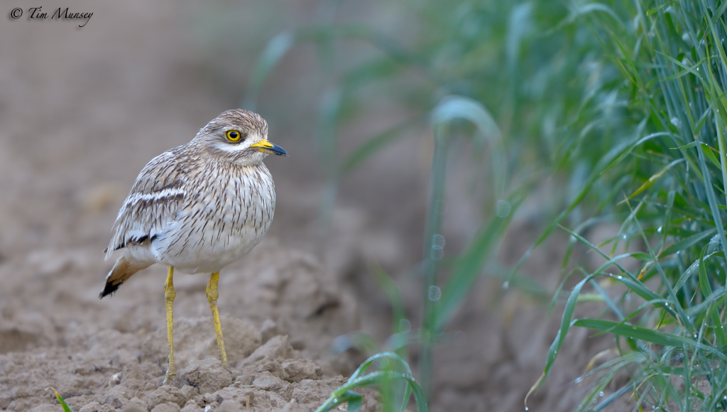 Stone Curlew 2012_2
