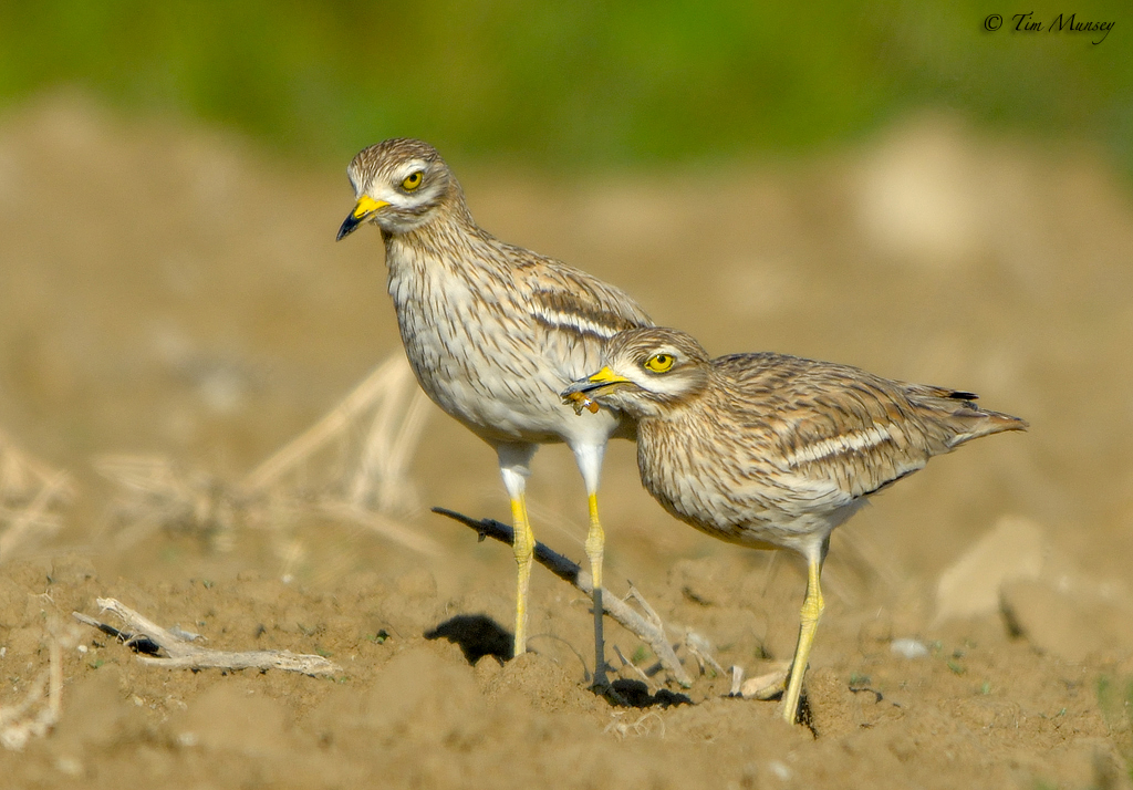 Stone Curlew Pair 2012