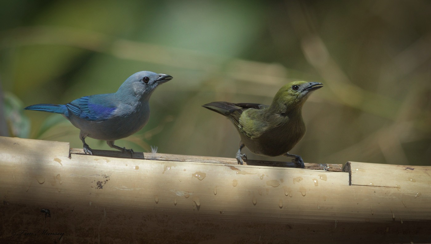 Blue-grey Tanager and Palm Tanager