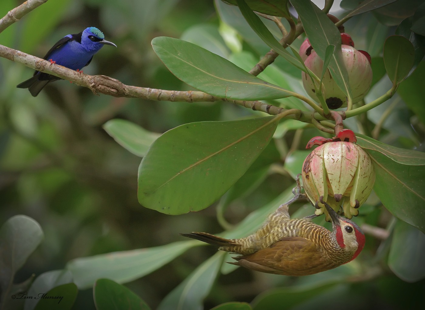 Golden-olive Woopecker and Red-legged Honeycreeper