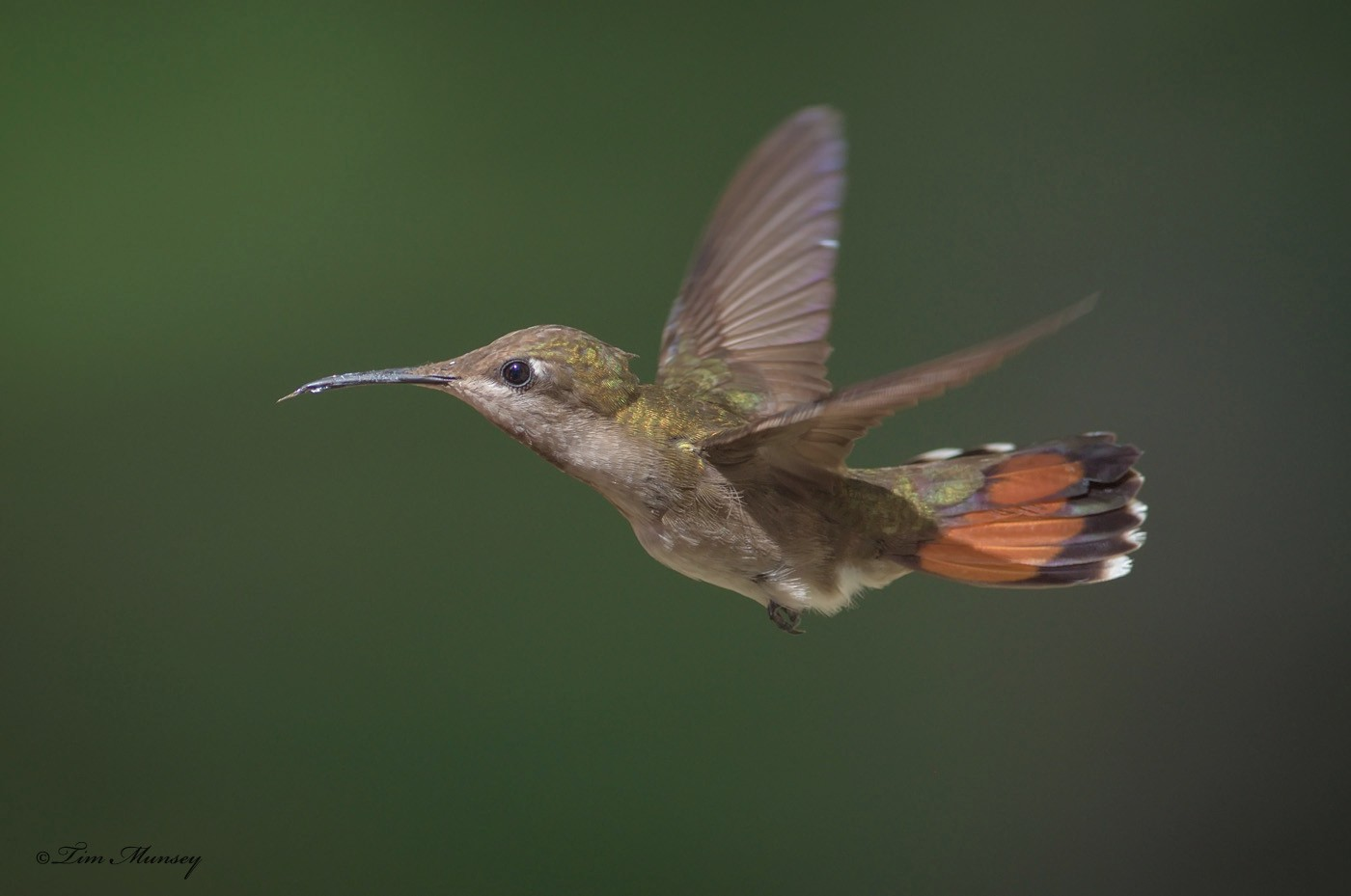Ruby Topaz Hummingbird Female