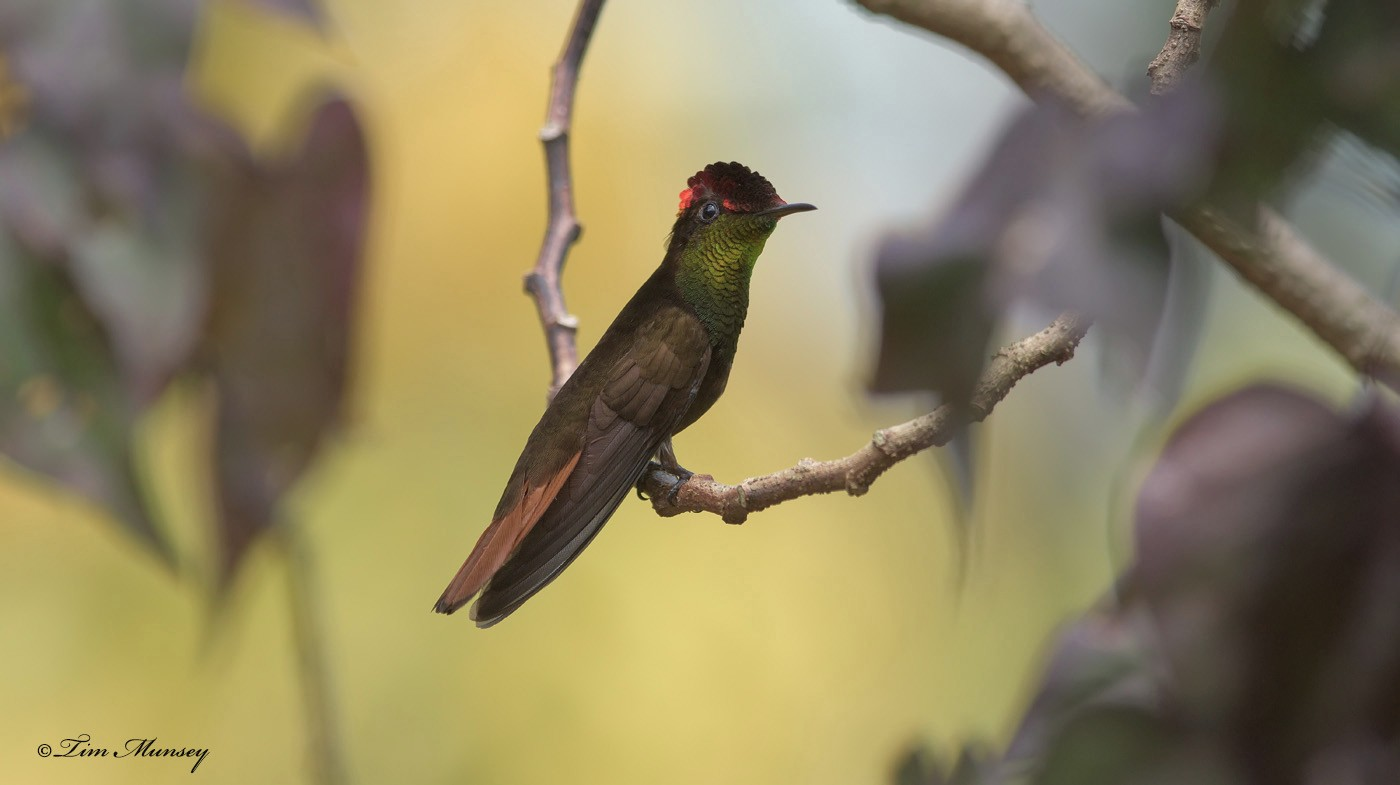 Ruby Topaz Hummingbird Male