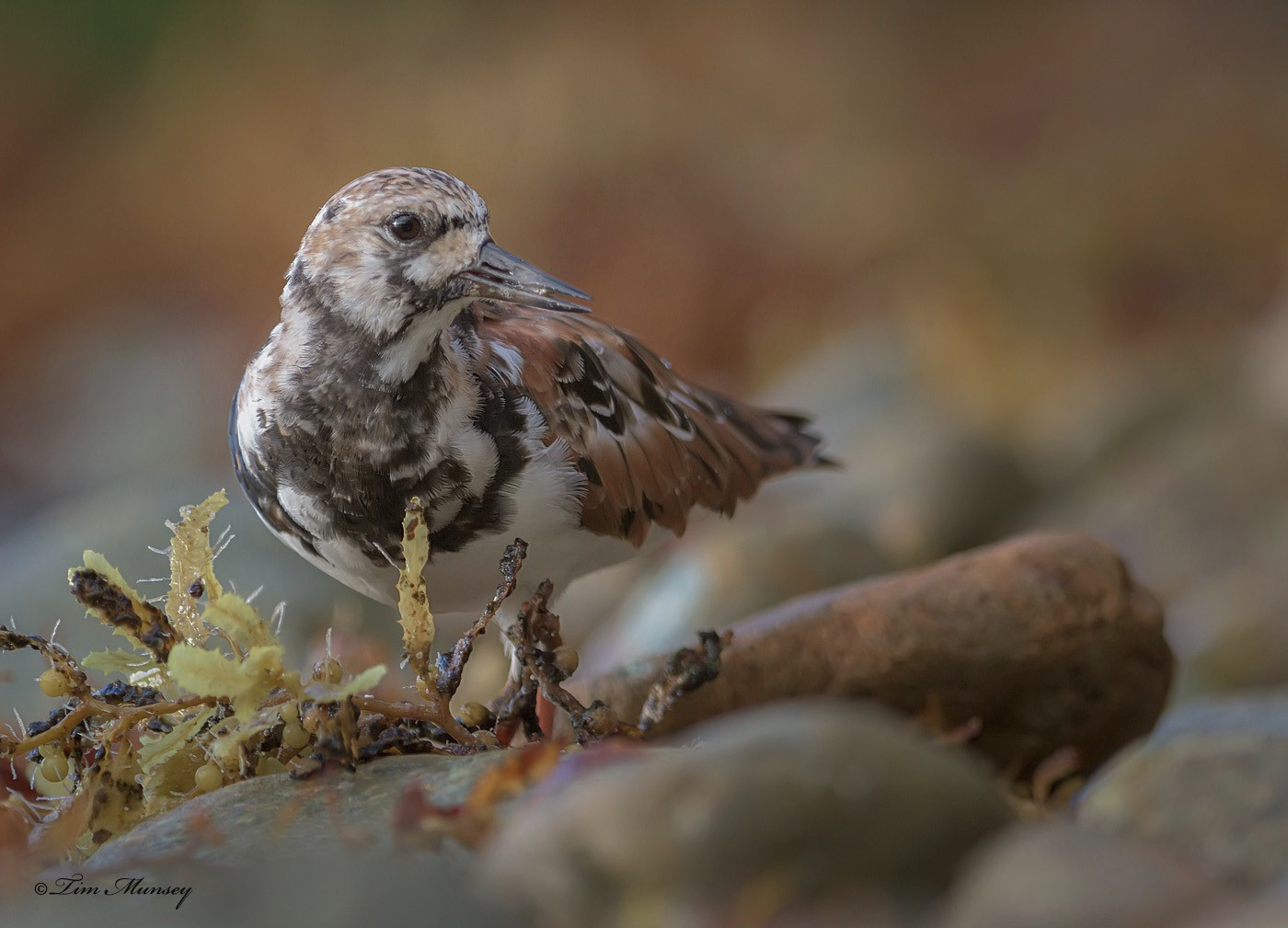 Ruddy Turnstone